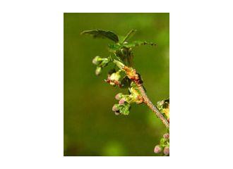 MSA Ribes Nigrum 50ml